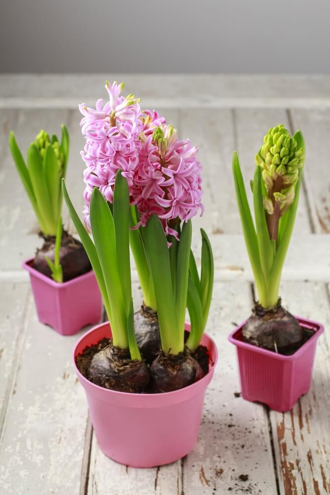 Plant and garden ideas for your home love home designs - Planting hyacinths pots ...